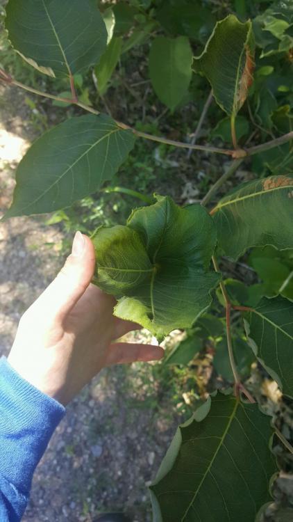 JK Leaf.JPG