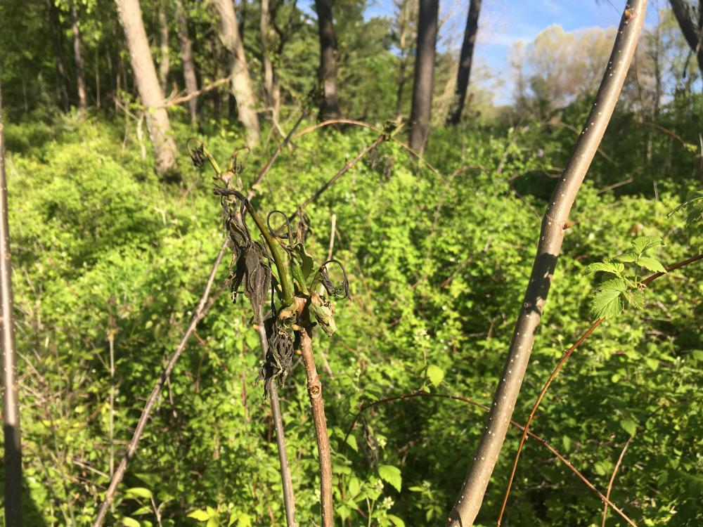 Amur cork tree - Frost Impact.JPG
