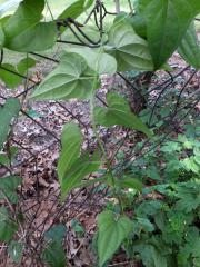 Chinese yam vine underside