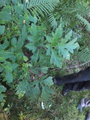 Giant hogweed basal leaves