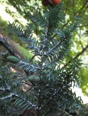 HWA under branch with cones