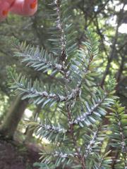 HWA under branch