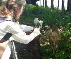 Checking out invasive-browsing goats