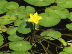 Yellow floating heart flower