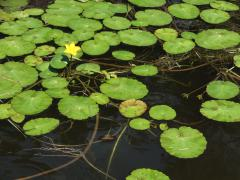 Yellow floating heart flower and leaves