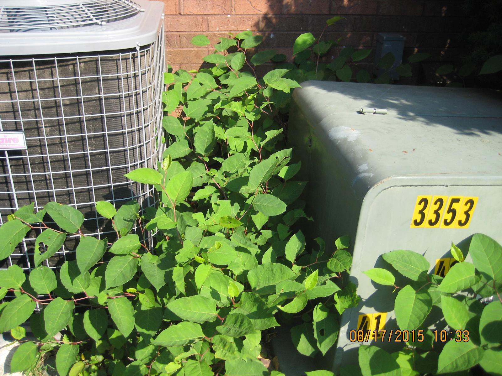 Knotweed spread Air Conditioner Fraternity kzoo.JPG