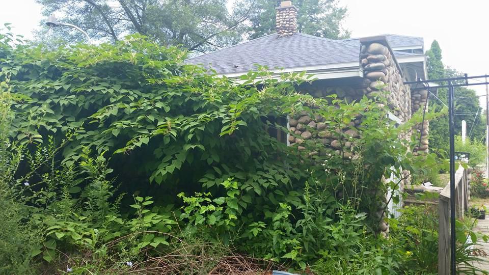 knotweed swallowing house.jpg