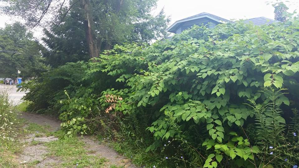 more knotweed.jpg