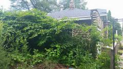 knotweed swallowing house.jpg